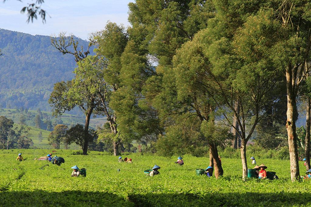 , Tea Plantation